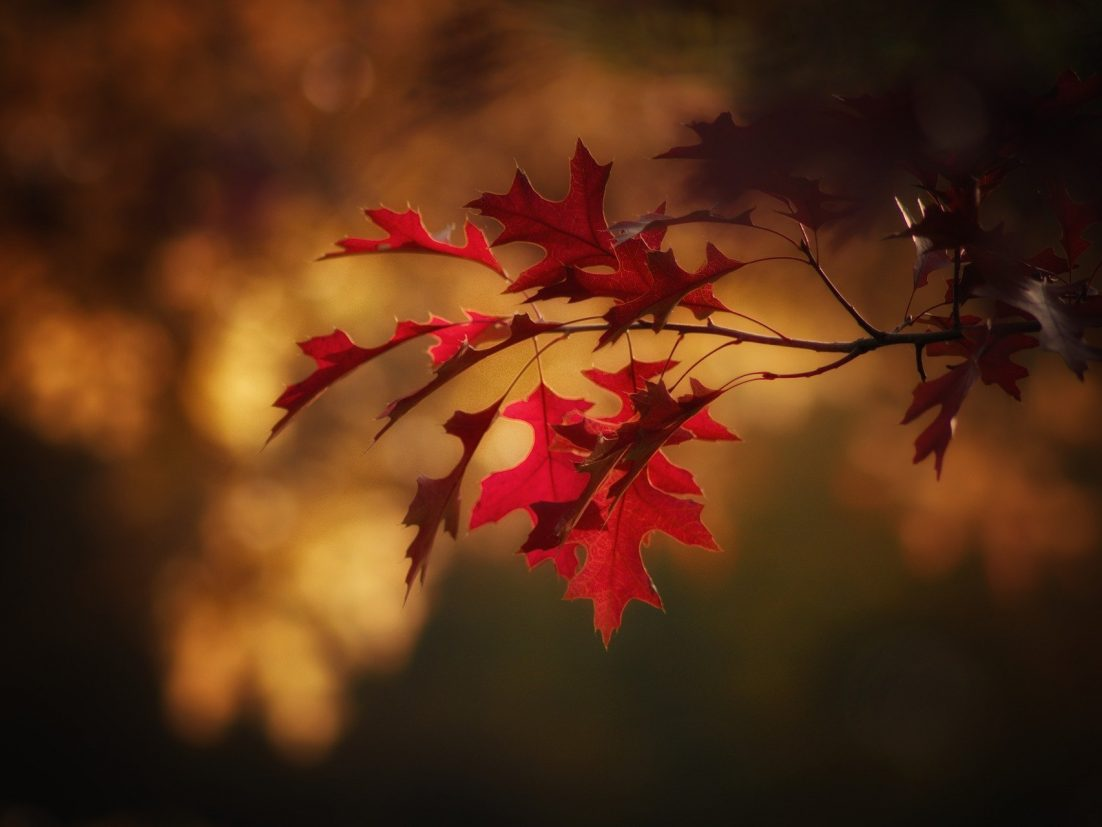 Maple leaves in the fall