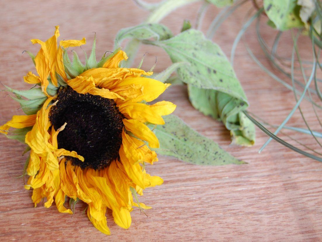 A drying sunflower. Photo by Valerija Bieliake